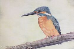 105. Kingfisher - Splash of Colour