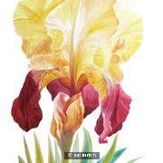 Shannopin Iris