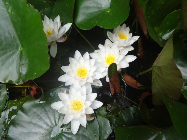 Water lilies 2016