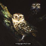 Eye-catchers (Little Owls)