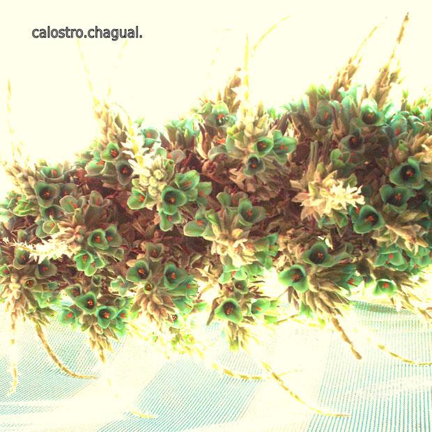 Calostro - Chagual