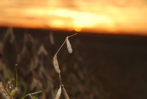 Soybean Harvest with sunset 2016