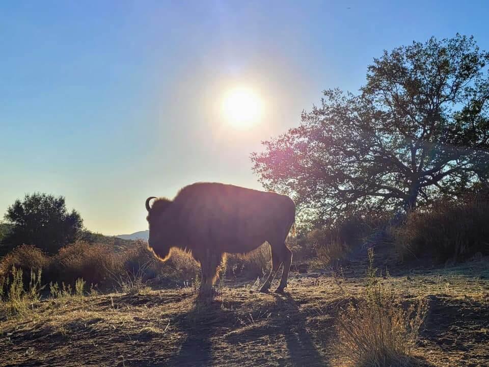 Bison Enjoying the Sun