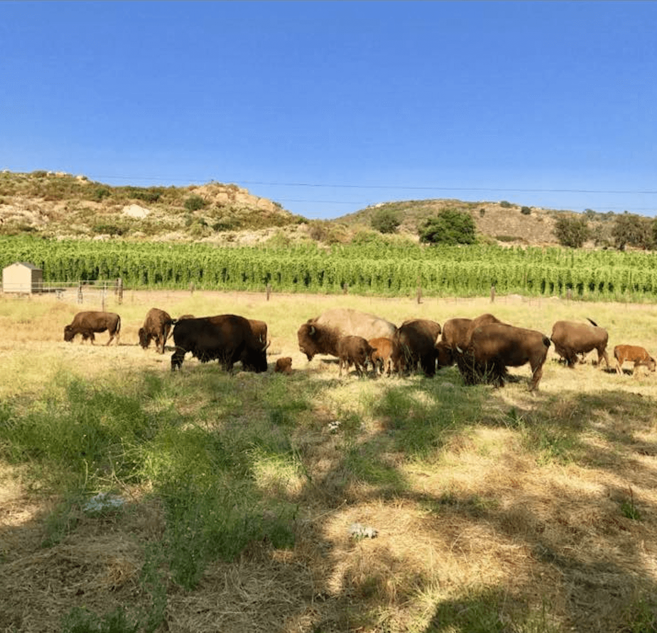 Bison Grazing in the Fields