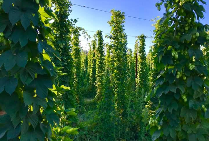 Hops Harvesting & Consulting