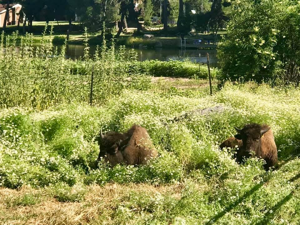 Bison Relaxing