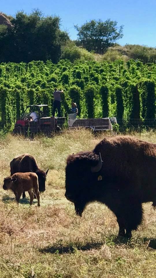 Bison and Hops