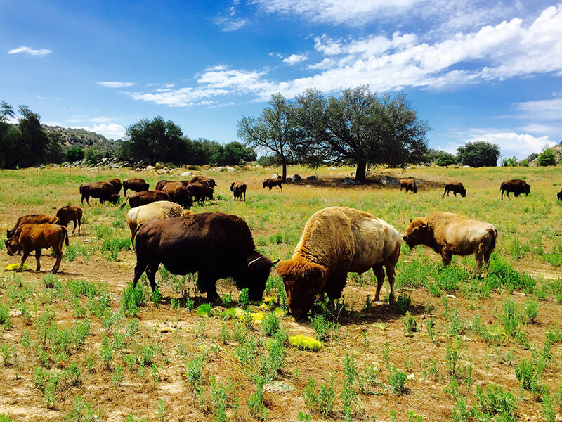 Bison Grazing in the Field