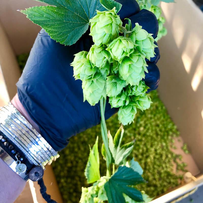 Hops Harvesting