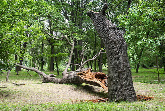 Dangerous Tree Assessment & Removal