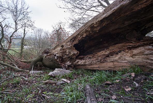 Deadwood Removal & Hazard Pruning