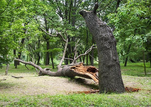 Hazardous Tree Assessment & Removal in Victoria