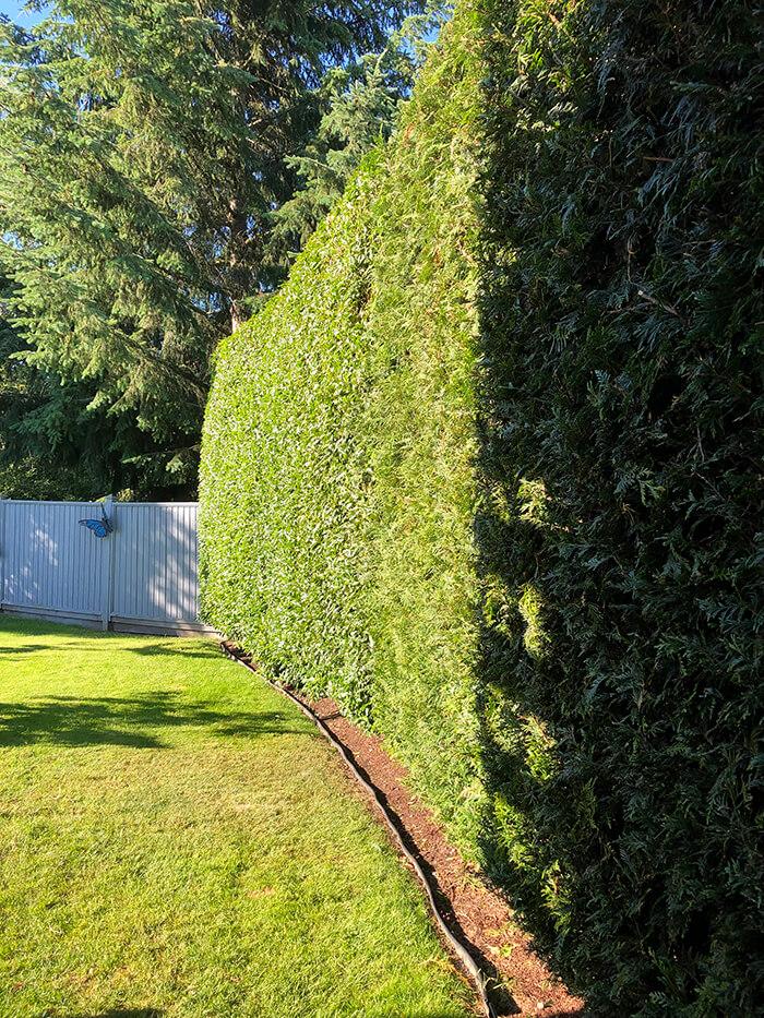 Hedge Trimming in Victoria, BC