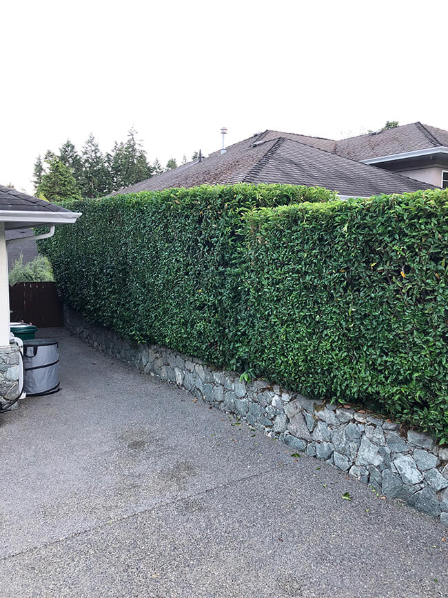 Hedge Trimming in Victoria
