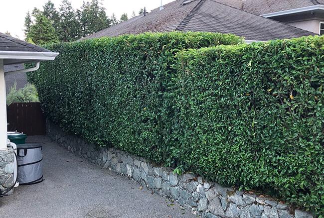 Hedge & Ornamentals