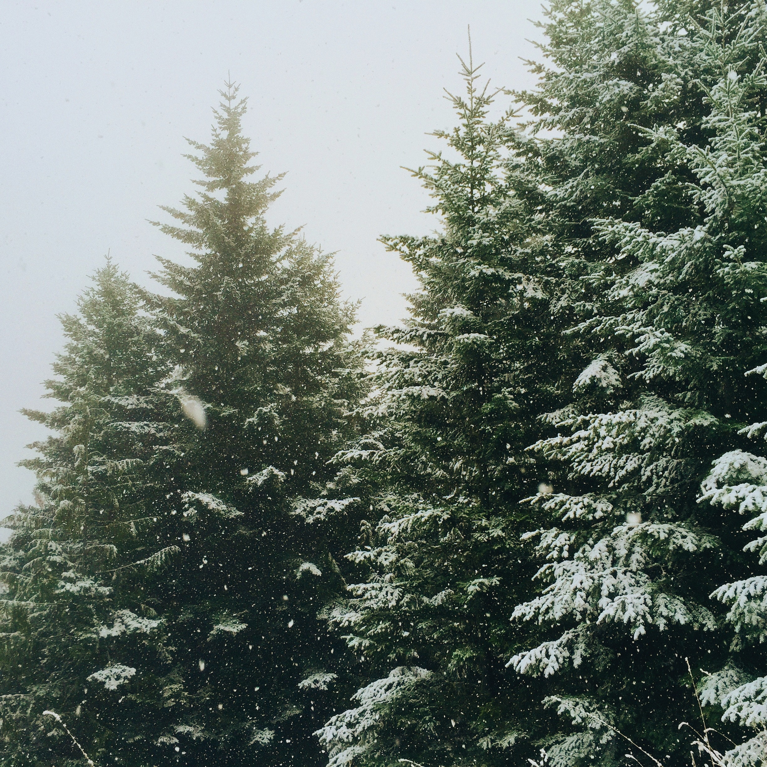Christmas Trees Garden Ridge: 5 Lovely Christmas Tree Farms In Missouri That Are Perfect