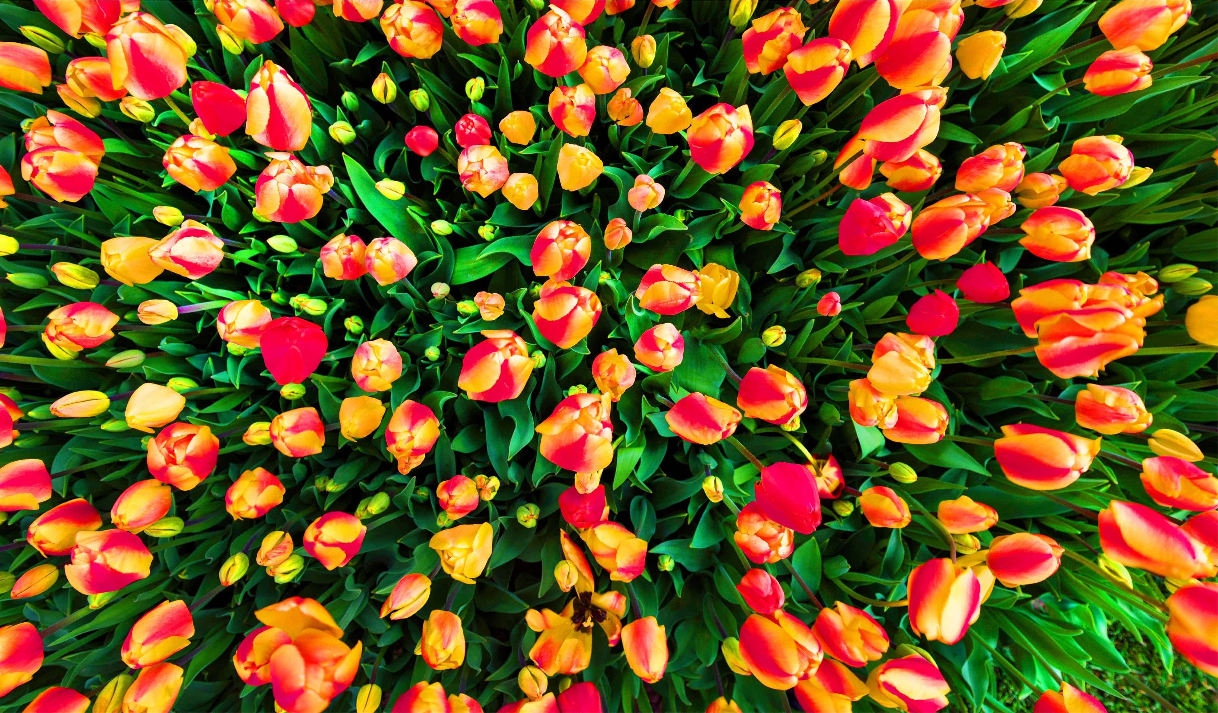 Tulips of Istanbul