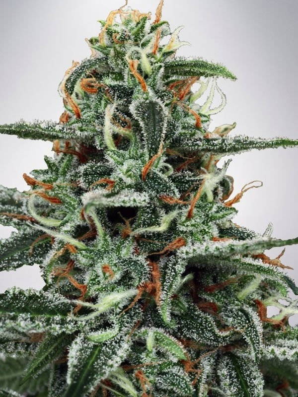white-widow-feminized-fc9