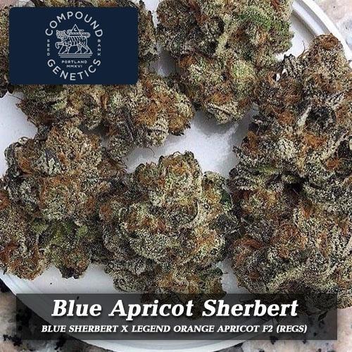 COMPOUNDGENETICS-blue-apricot-sherbert