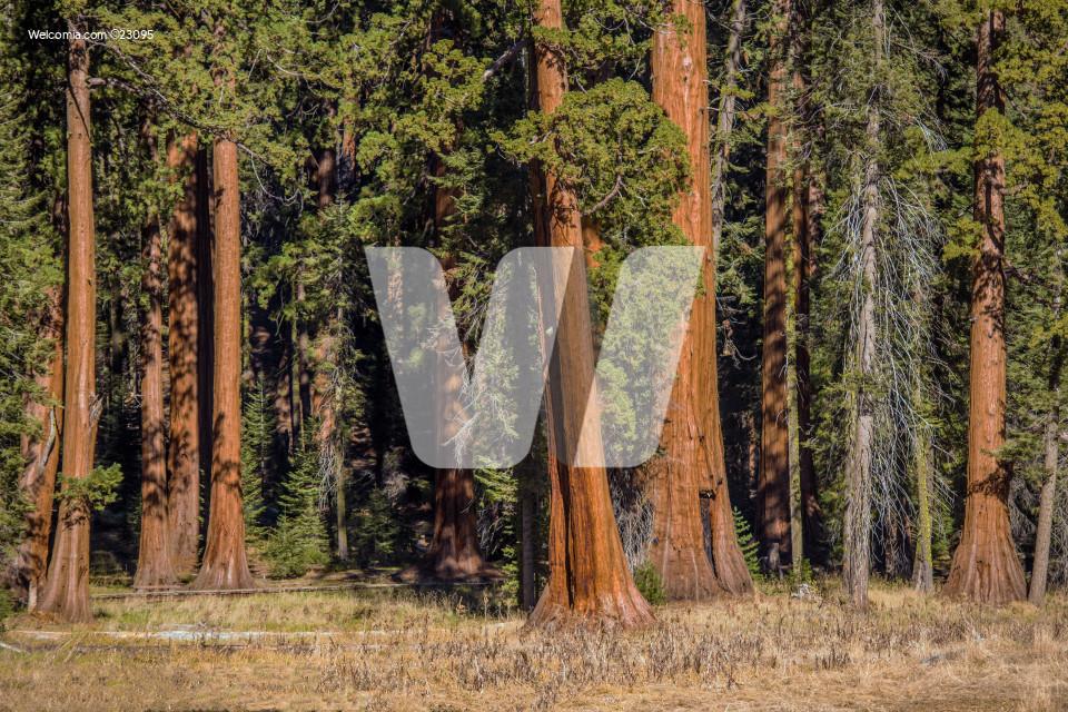 Sequoias Trees Woodland