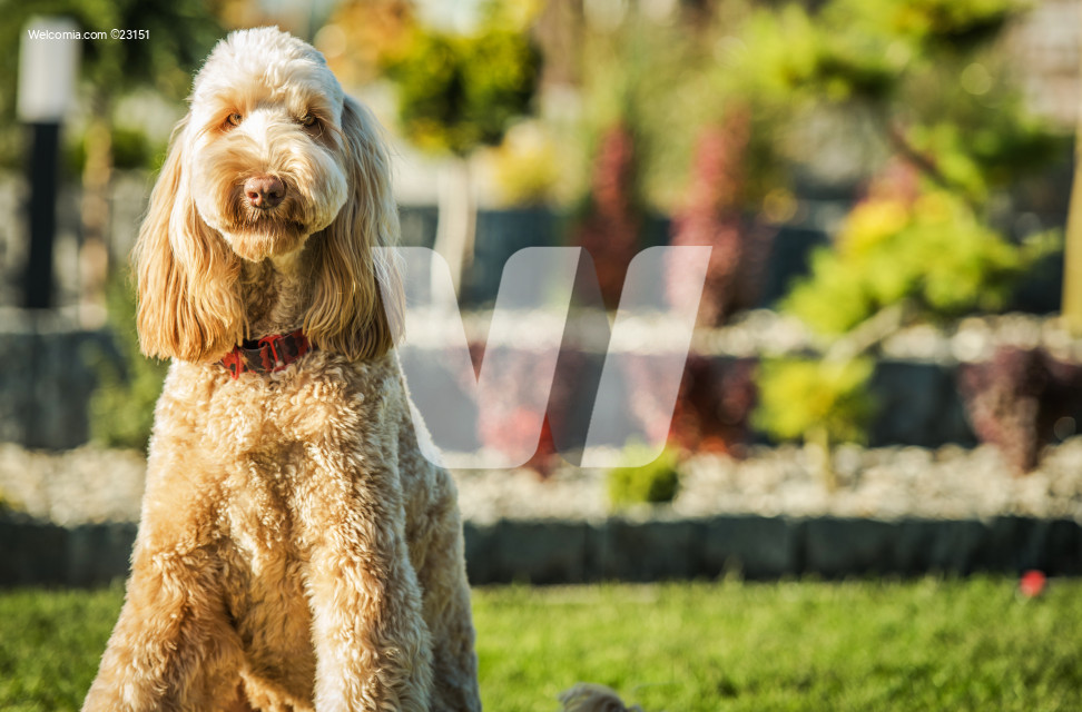 Goldendoodle Sitting On Grass In Yard Outside House.