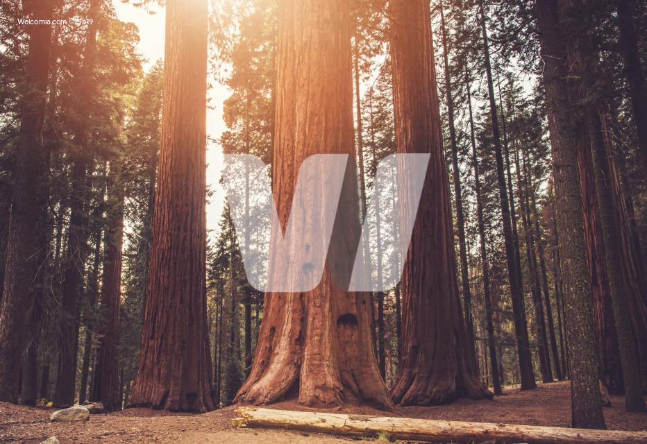 Ancient Sequoias Woodland