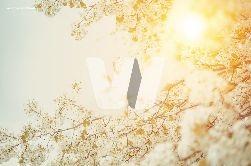Blossom Spring Background