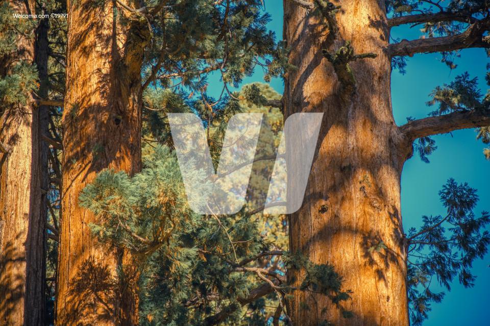 California Giant Sequoias