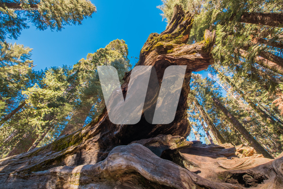 Fallen Giant Sequoia Tree