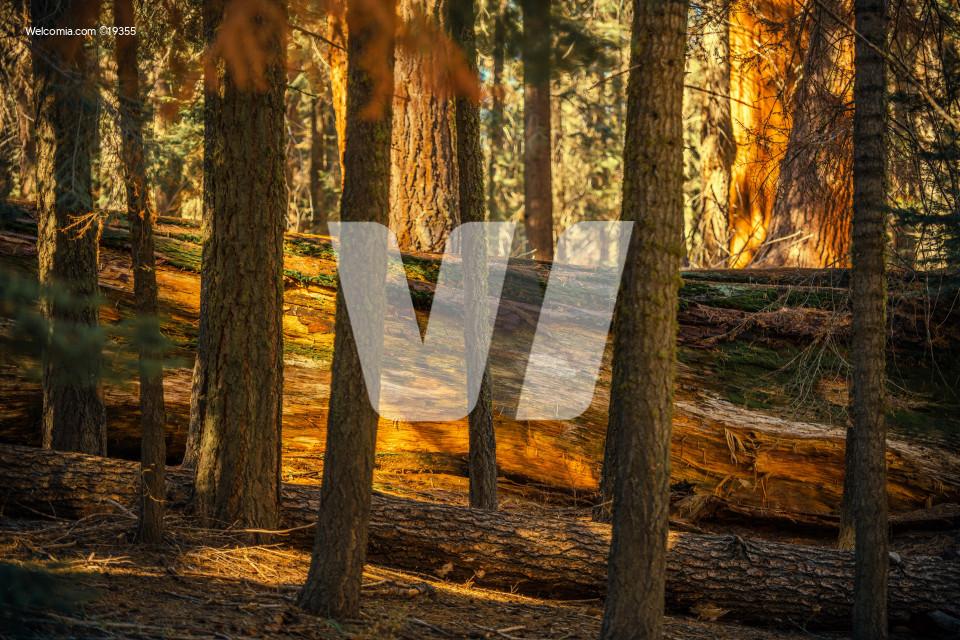 Fallen Sequoia Between Trees