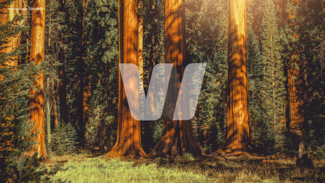 Giant Sequoia Trees Woodland Panoramic