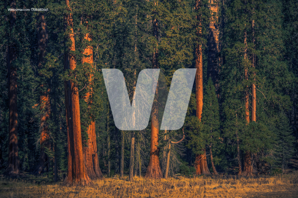 Giant Sequoias Forest Natural Wonder