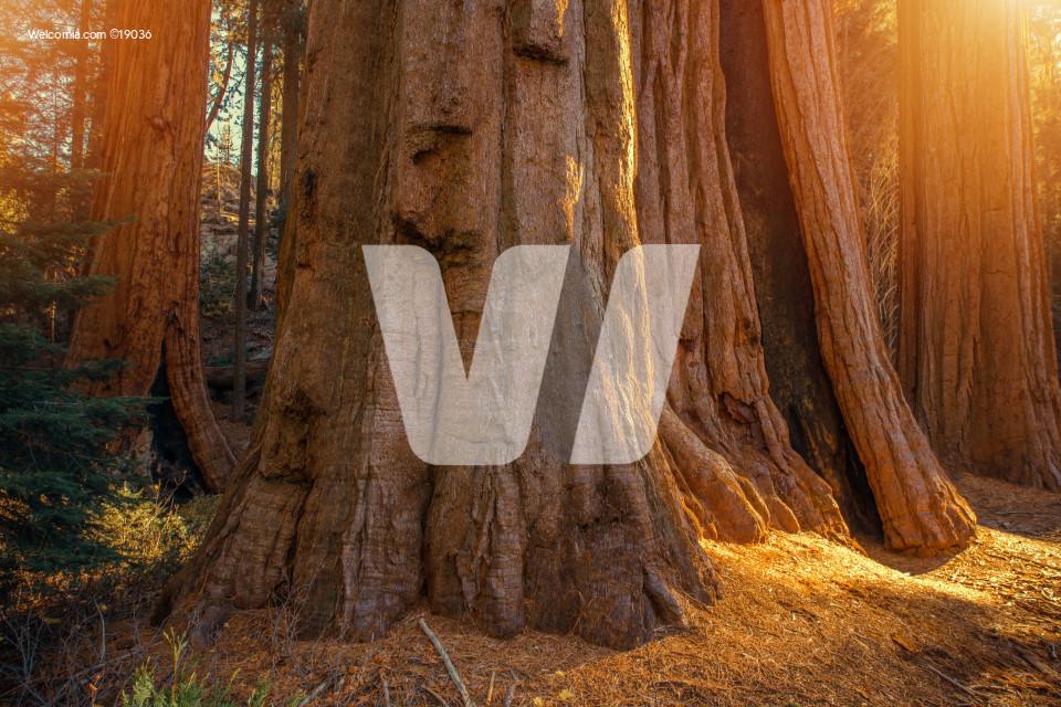 Giant Sequoias Grove