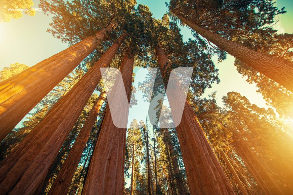 Giant Sequoias Redwood
