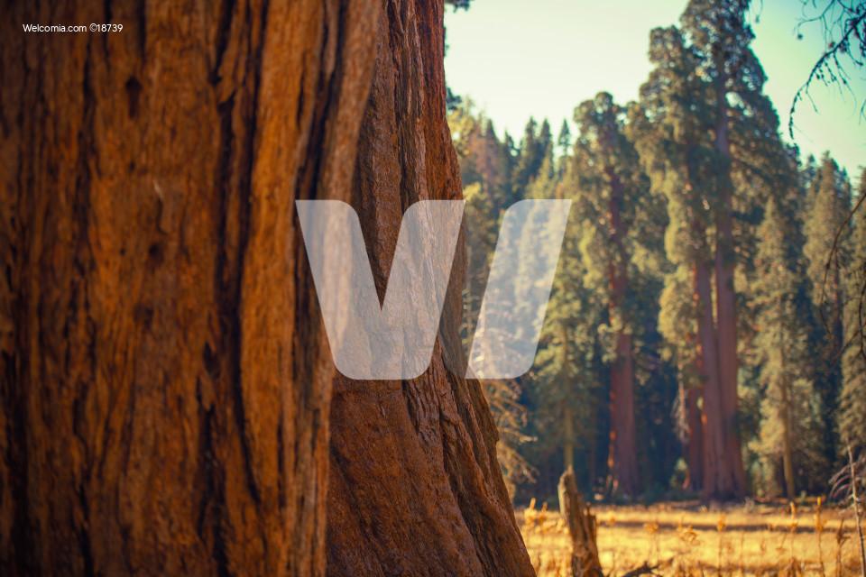 Giant Sequoias Trail