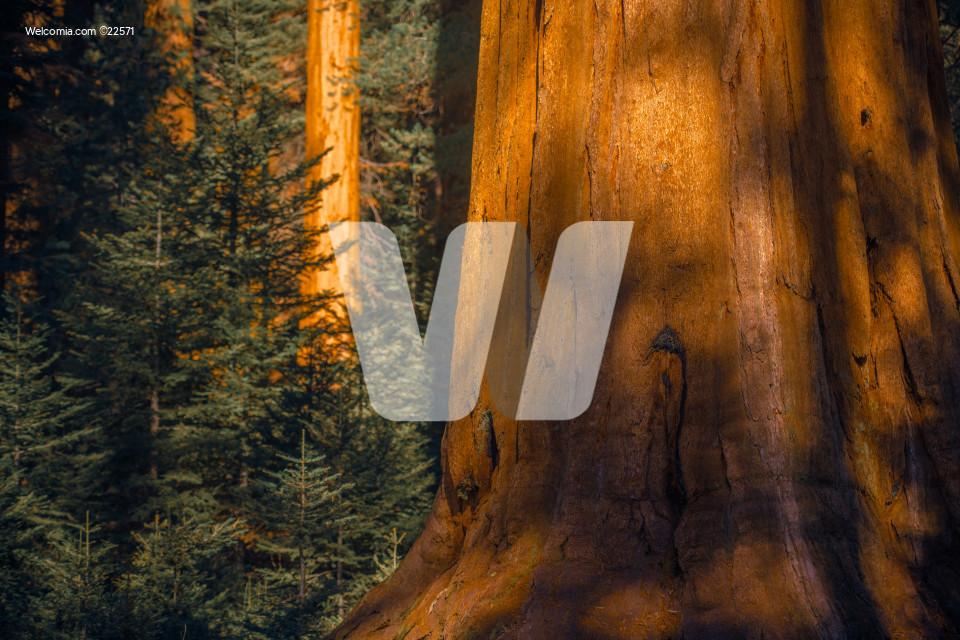 Giant Sequoias Woodland