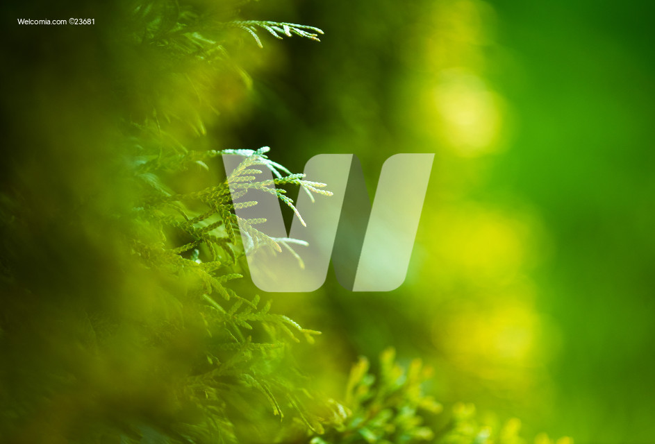 Green Nature Background with Garden Thujas Close Up
