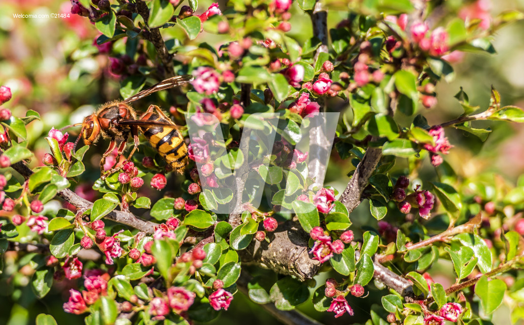 Hornet on a Flower