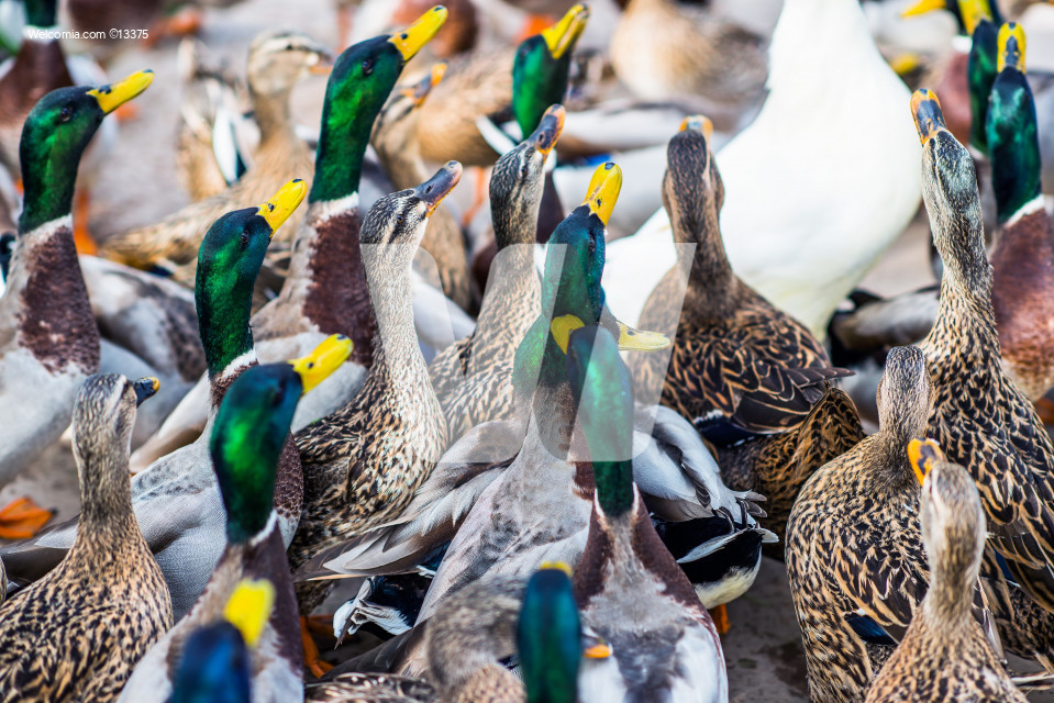 Large Group of Ducks