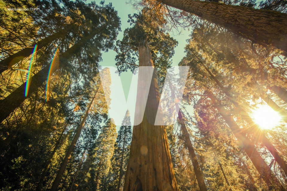 Sequoia National Park Grove