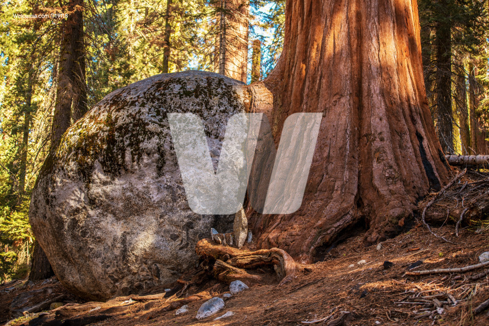 Sequoia Tree Rock Growing