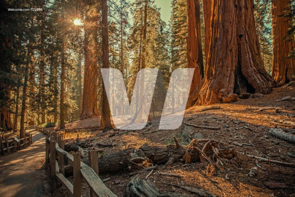 Sequoias Sierra Forest