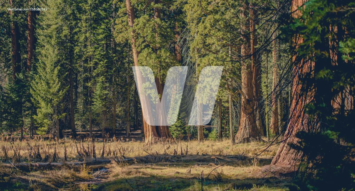 Sierra Nevada California Giant Sequoias