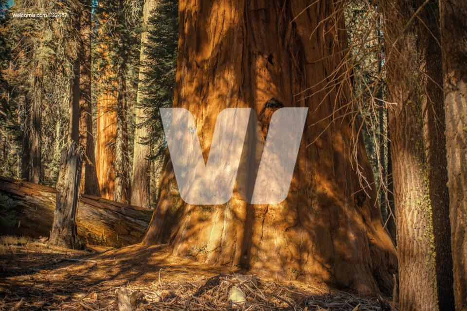 Sierra Redwood Forest