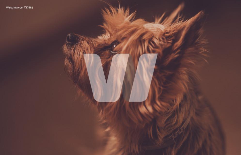 Silky Terrier Portrait