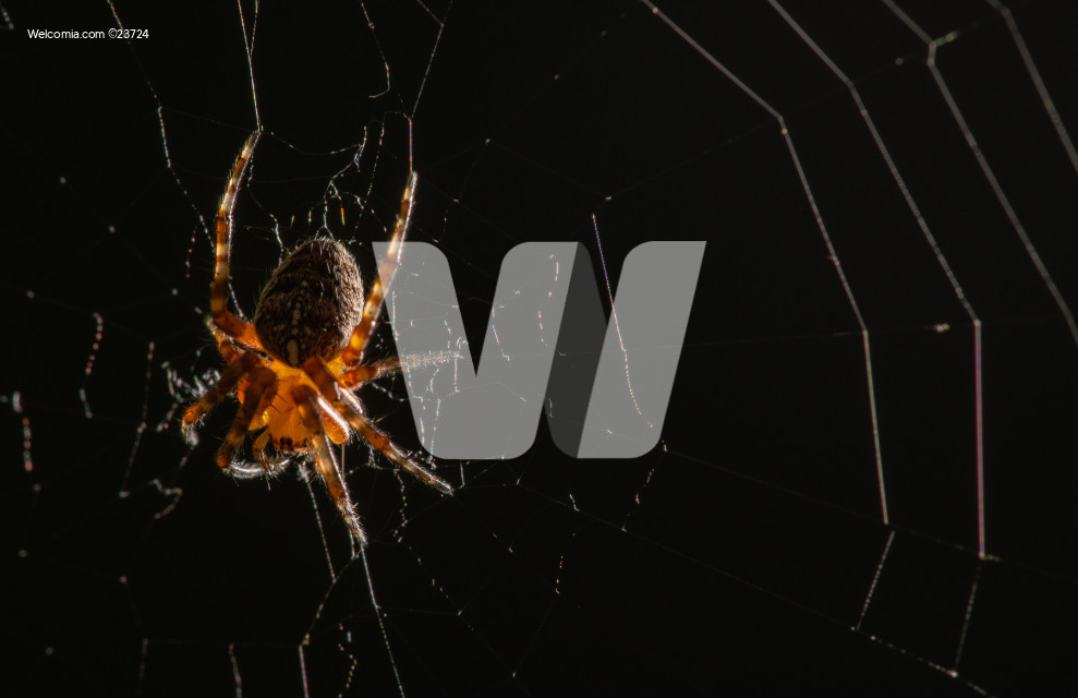 Small Spider on Circular Spiderweb at Night