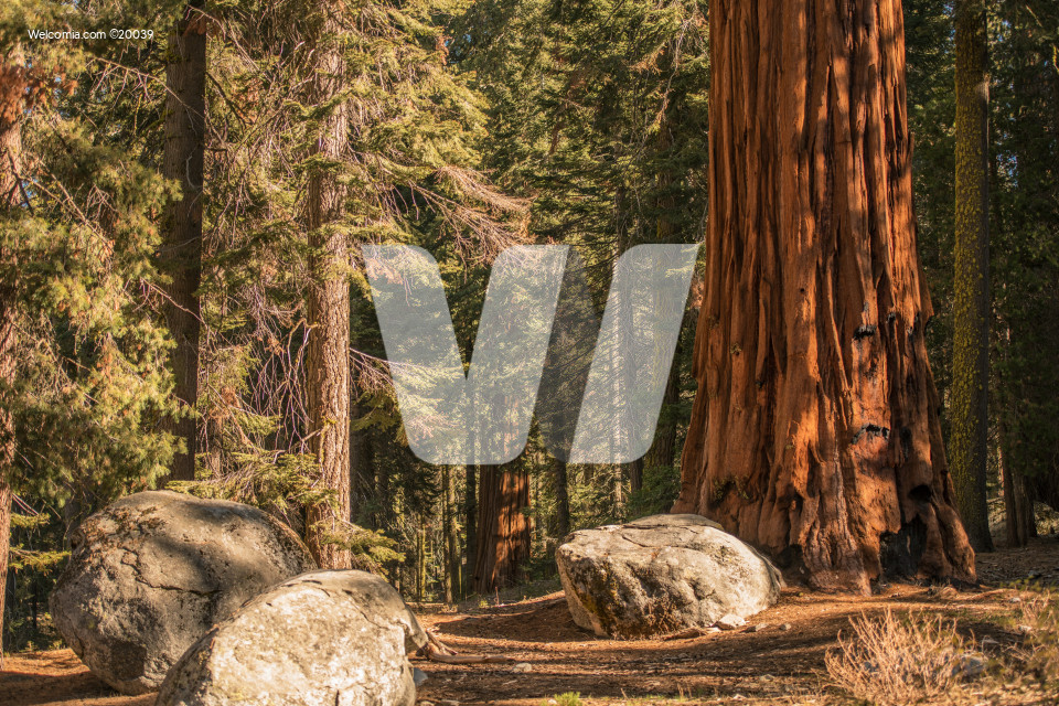 Summer in the Sequoia Forest