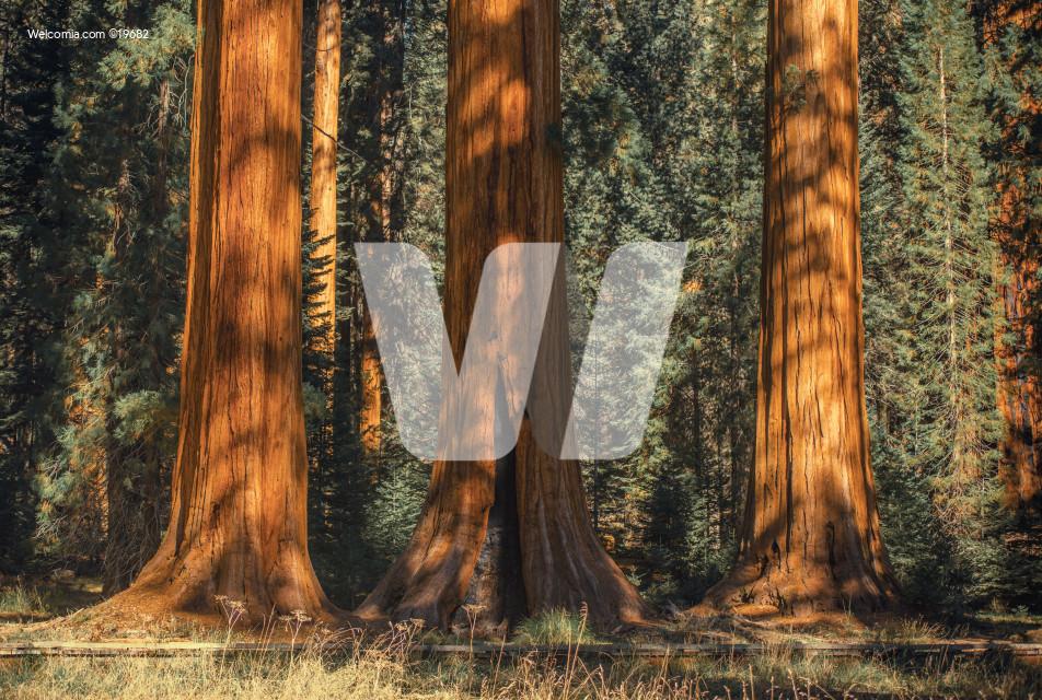 Three Ancient Sequoias
