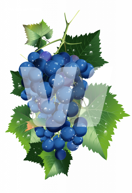 Vineyard Blue Grapes PNG Isolated Illustration