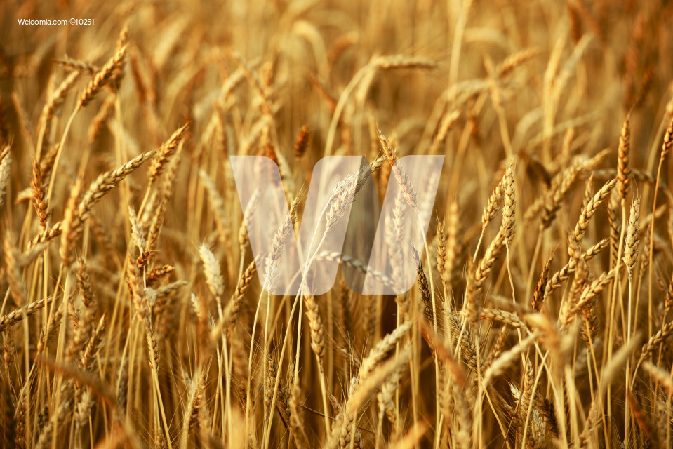 Wheat Closeup - Wheat Field. Agriculture Collection.